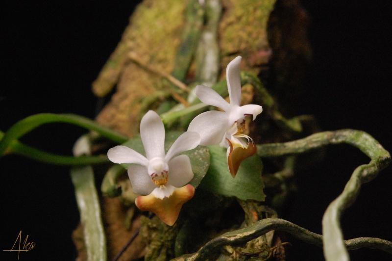 Phalaenopsis Sacha (parishii x malipoensis) Sacha310
