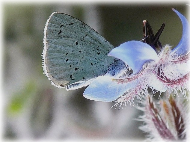 Sur fleur de Bourrache Azurè des Nerpruns ? P1260112