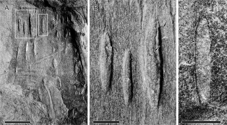 Structures enigmatiques pouvant être des ovipositions  F2_lar10