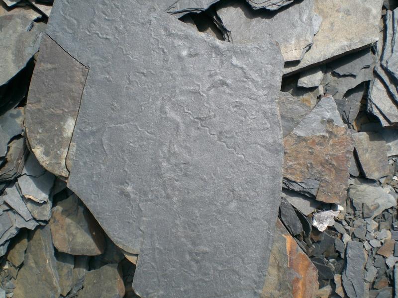 Flore Carbonifère des Alpes Françaises part 1 Figure10