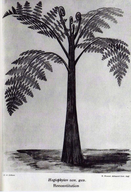 Hagiophyton Corsin , 1948. Img16810