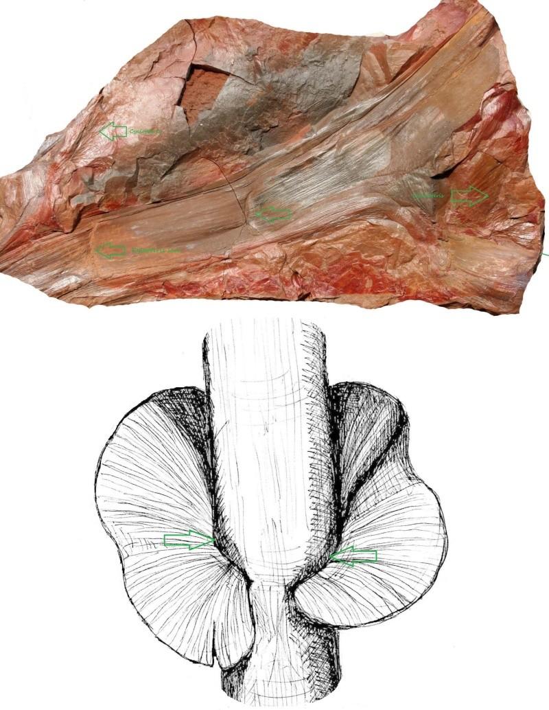 Neuropteris ovata Hoffmann . Cyclopteris Brongniart , 1830.  Insert10