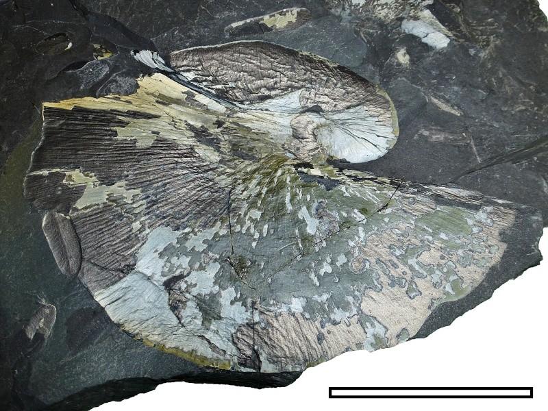 Neuropteris ovata Hoffmann . Cyclopteris Brongniart , 1830.  Msg-2610