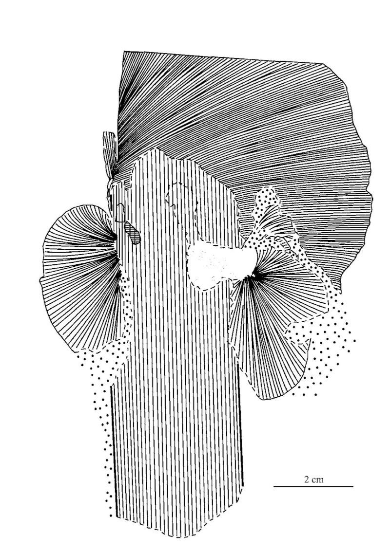 Neuropteris ovata Hoffmann . Cyclopteris Brongniart , 1830.  Pal-2410