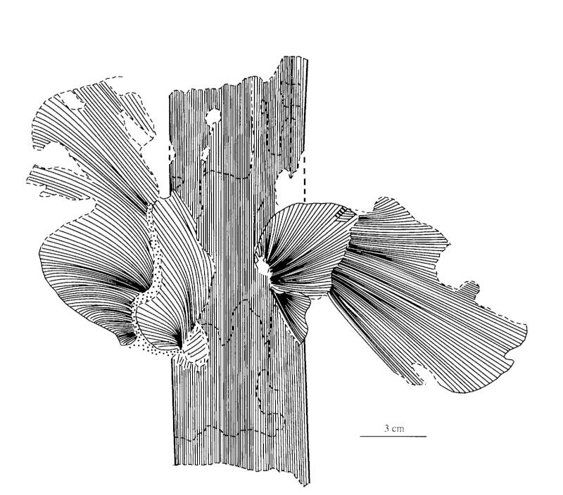 Neuropteris ovata Hoffmann . Cyclopteris Brongniart , 1830.  Pal-2411