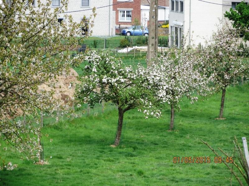 Cerisiers. 003_ce11