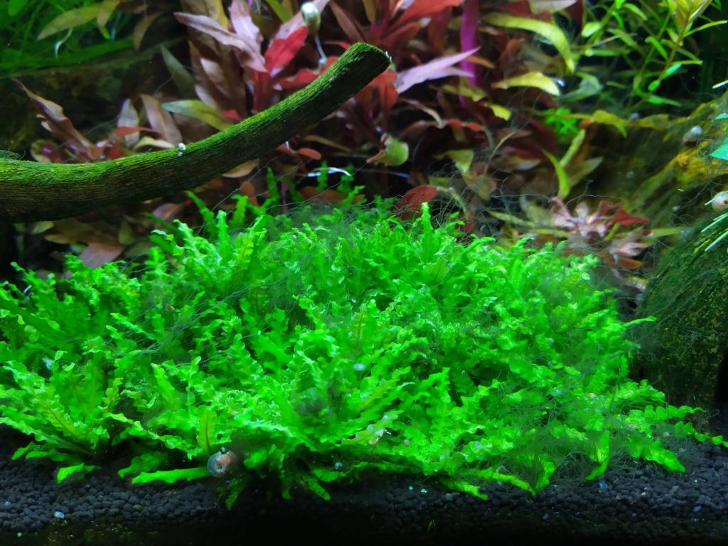 Algues corne de cerf  Img_2067