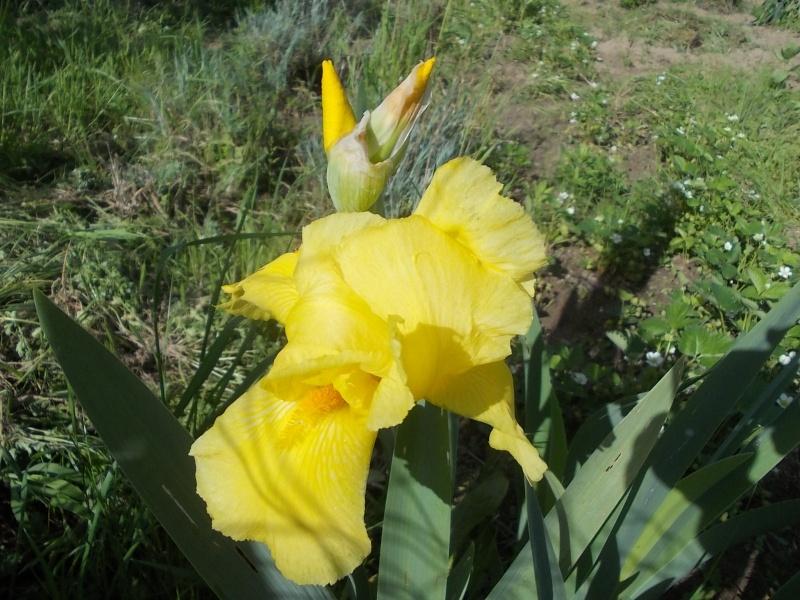 Les iris -culture, multiplication, entretien, variétés. - Page 3 Dscn4810