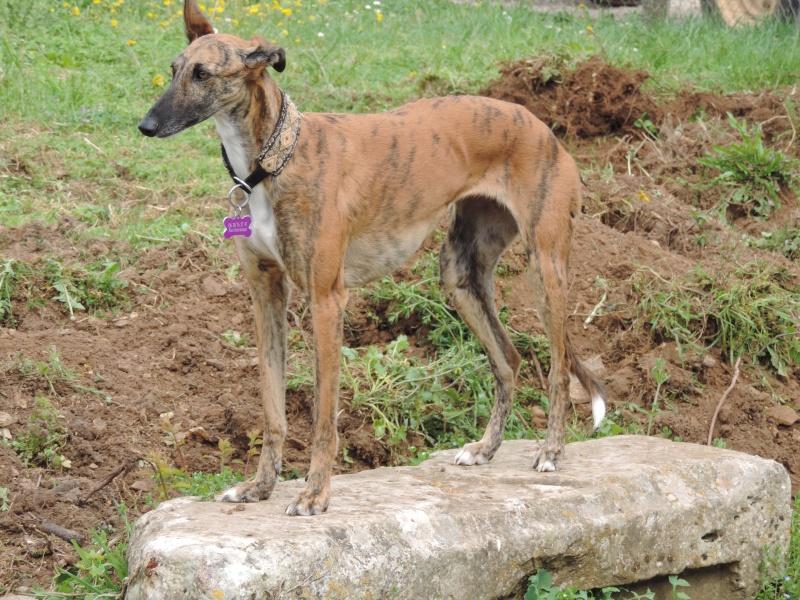 Mirra galga à l'adoption  Scooby France Adoptée  - Page 11 Dscn2635