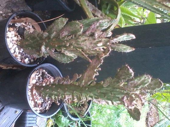 Massive Cactus SALE 2015-013