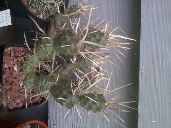 Massive Cactus SALE 2015-015