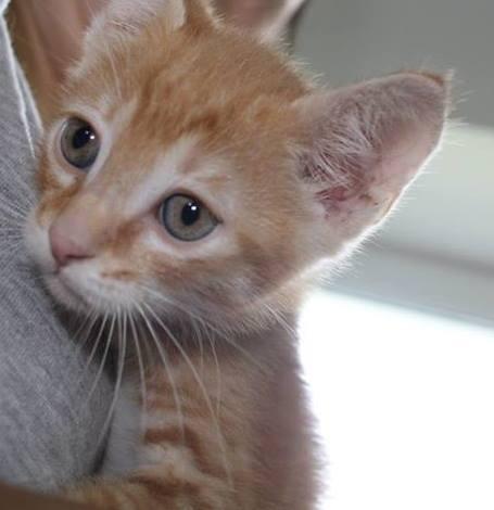 Joli chaton roux de 2 mois 11255010