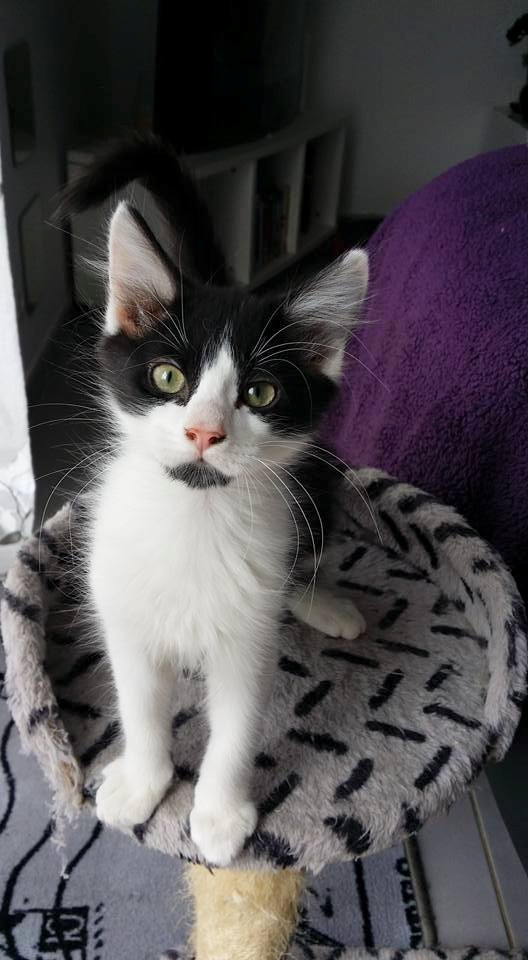 Guismo, chaton noir et blanc poils mi longs 2 mois IE n° 250269810587402 19395_10