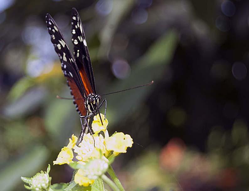 Papillons en liberté 00310