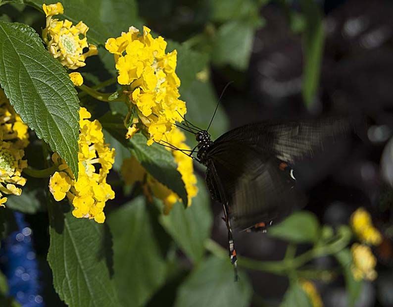 Papillons en liberté 00410