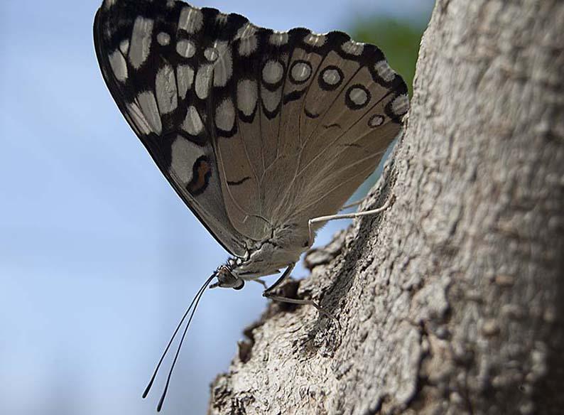 Papillons en liberté 00610