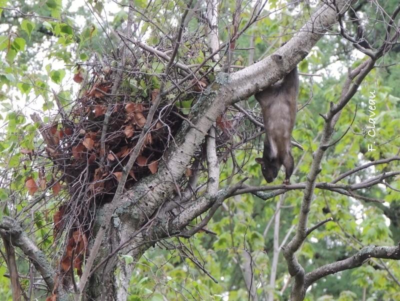 écureuil amoché - Terrebonne Dscn3010