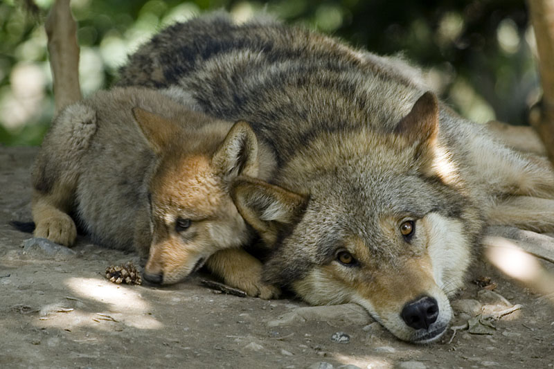 Les Loups - Page 2 07824110