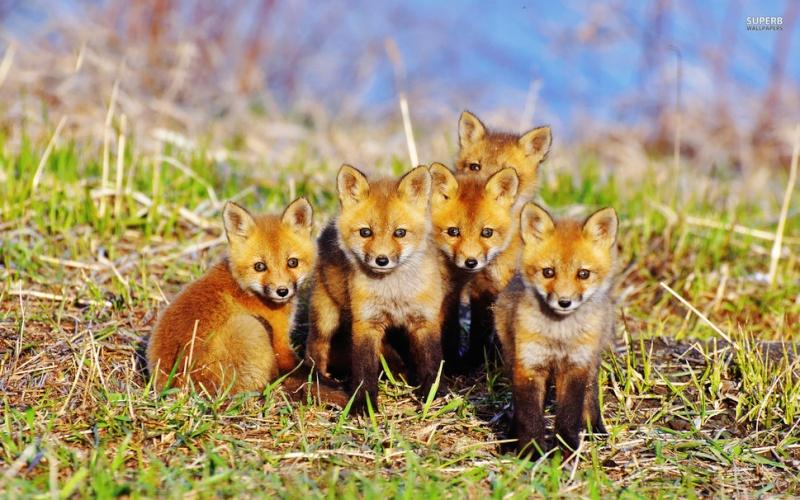 les renards  - Page 3 11027510