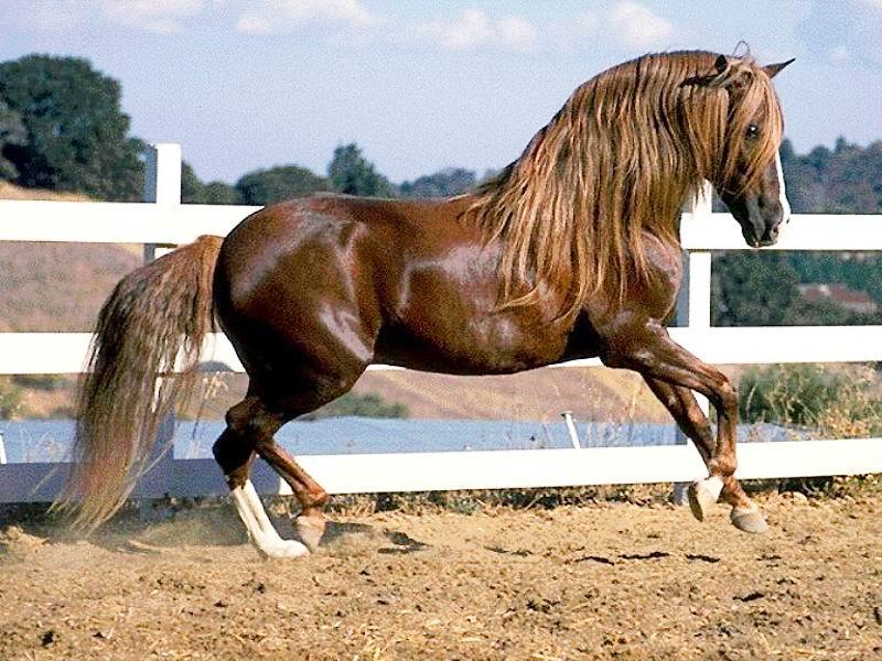 les chevaux  Cheval11