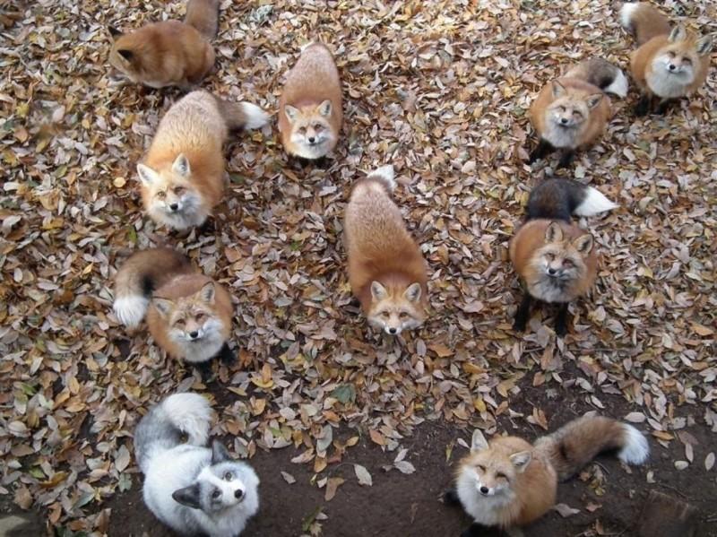 les renards  - Page 3 Foxes-10