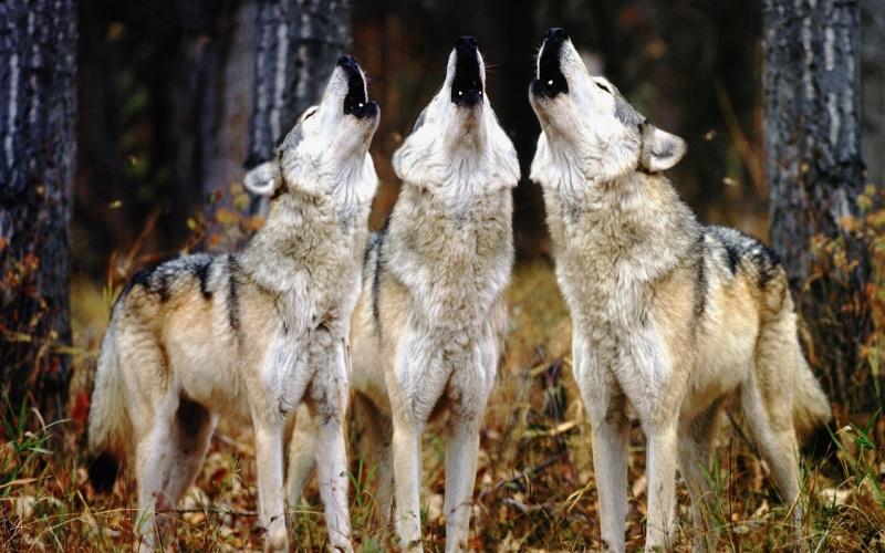 Les Loups - Page 2 Hurlem10