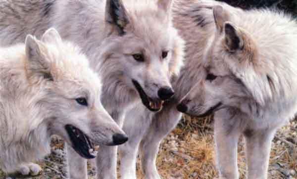 Les Loups - Page 2 Ifejhy10