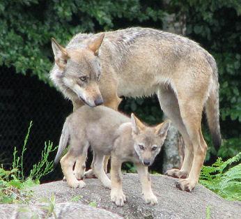 Les Loups - Page 2 Loups10