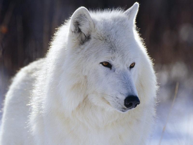 Les Loups - Page 2 O8mgqm10