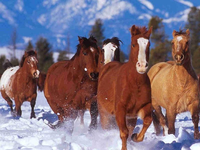 les chevaux  Oicjl010