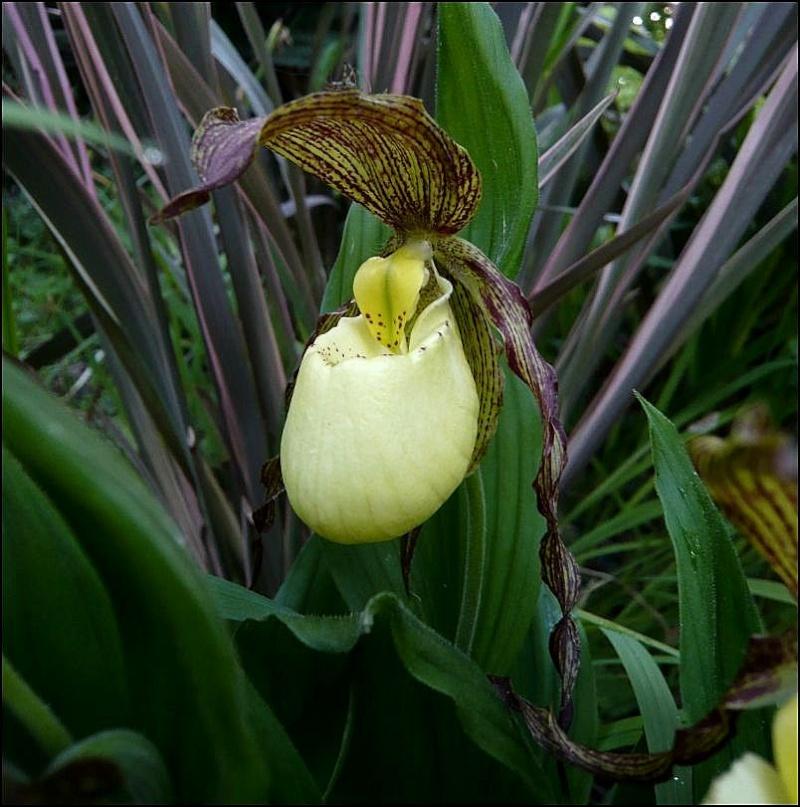 Cypripedium hybride dans le sud Cyprip11