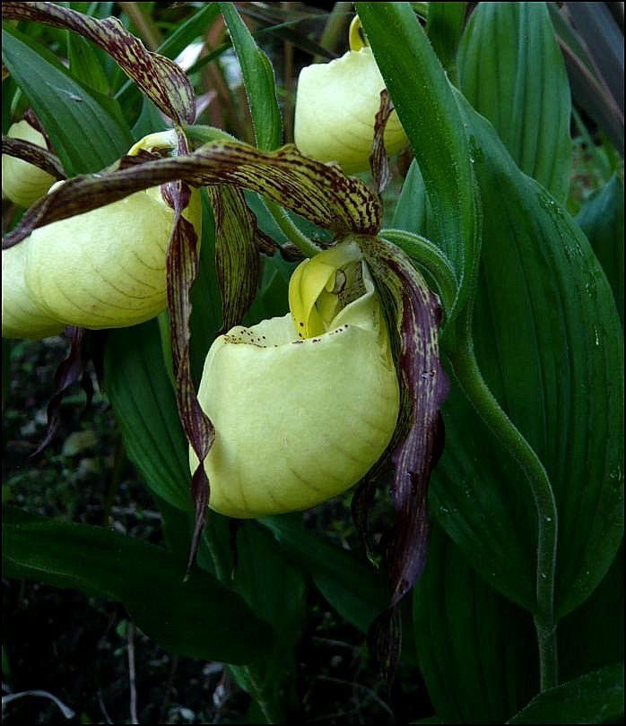 Cypripedium hybride dans le sud Cyprip12