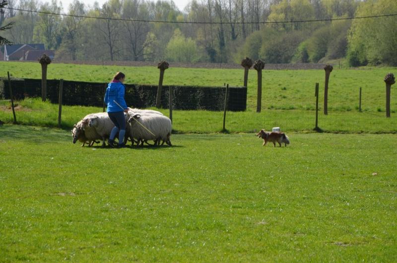 troupeau - Un sheltie au troupeau Dsc_0110