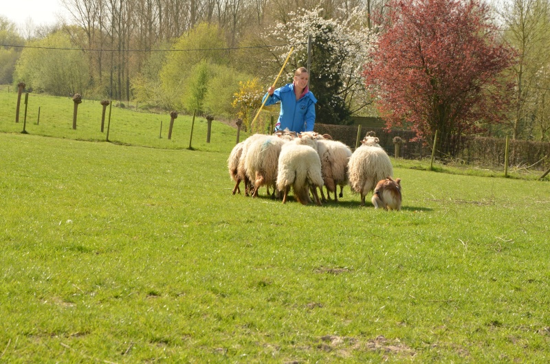 troupeau - Un sheltie au troupeau Dsc_0112
