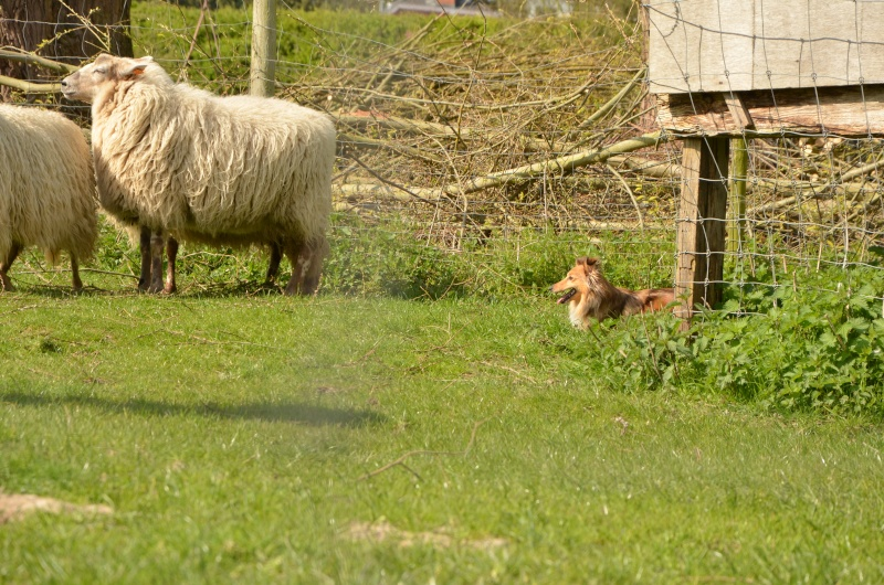 troupeau - Un sheltie au troupeau Dsc_0116