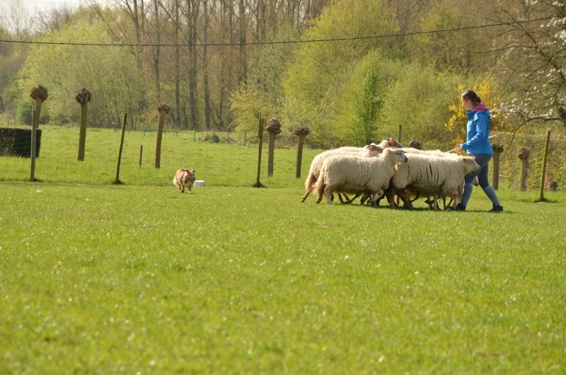 troupeau - Un sheltie au troupeau Dsc_0117