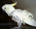 Mort de mon Kakariki !! Pbfd_110
