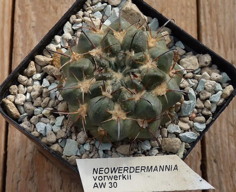 Neowerdermannia vorwerkii 00115