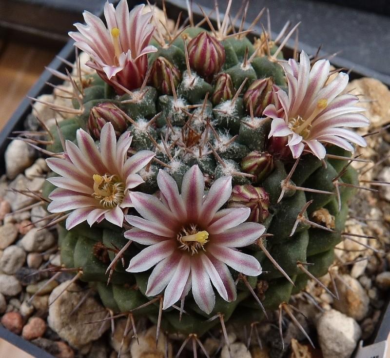 Mammillaria boelderliana 00810