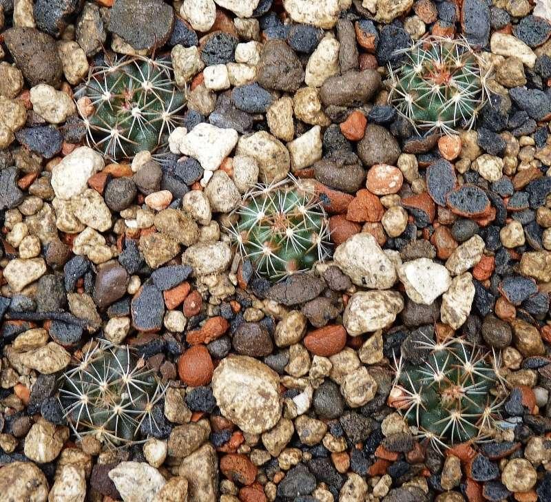 Mammillaria wrightii var. wolfii P1260127
