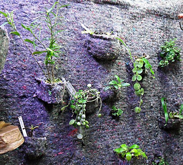 Un mur végétal dans ma serre salon 1er_ma13