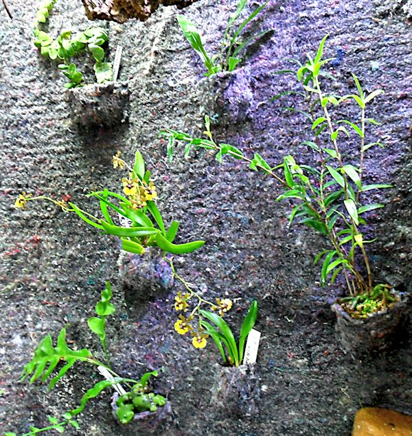 Un mur végétal dans ma serre salon 1er_ma14
