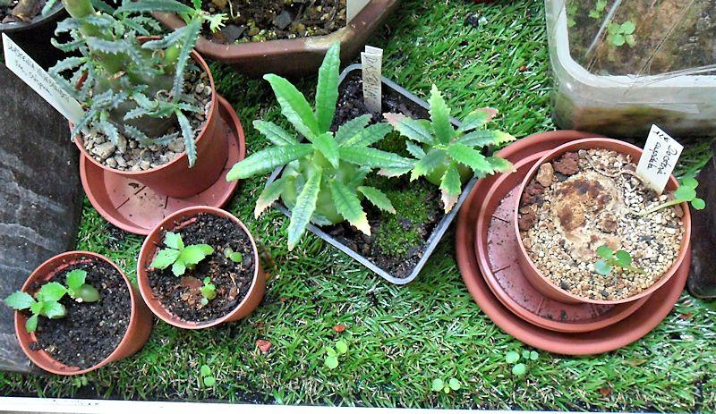Semis spontanés de Dorstenia  Dorste15