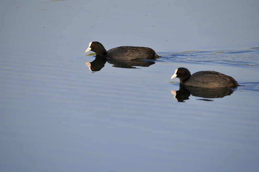 Oiseaux aux étangs de Cattenom 15042310