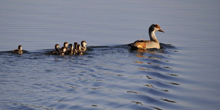 Oiseaux aux étangs de Cattenom 15042312