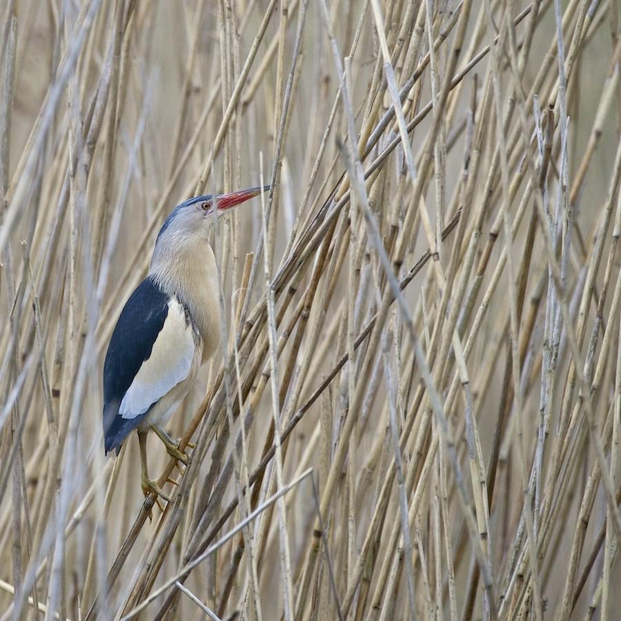 2015 - oiseaux à Remerchen (MAJ 01/06) 2015-014