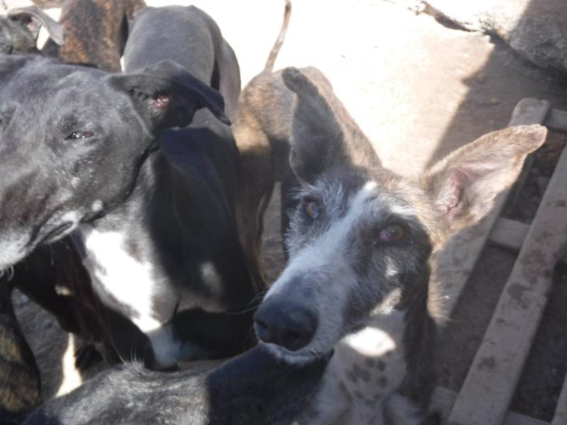 Cartucho galgo bringé barbudo Scooby France / Adopté 11045410