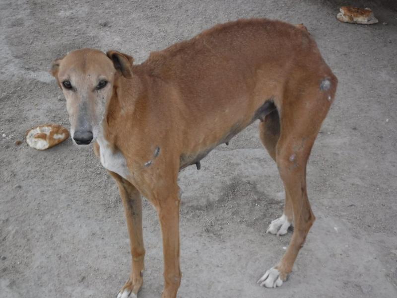 Kika galga 7 ans 1/2 marron  Scooby France  Adoptée  11059610