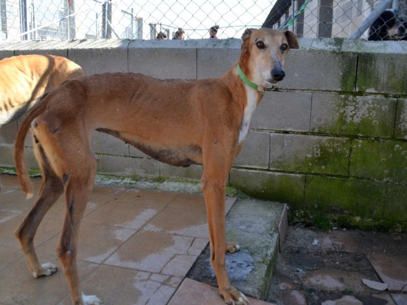 Kika galga 7 ans 1/2 marron  Scooby France  Adoptée  Dsc_0035