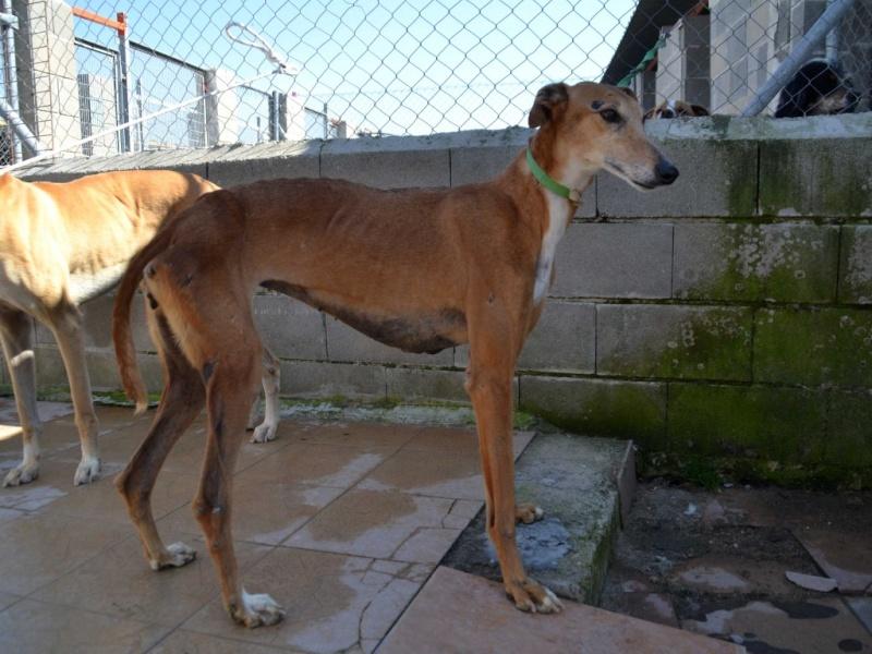 Kika galga 7 ans 1/2 marron  Scooby France  Adoptée  Dsc_0036